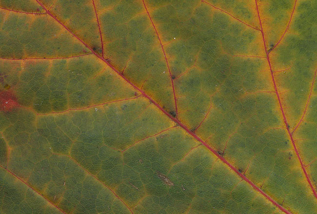 Leaf texture close-up green, free download