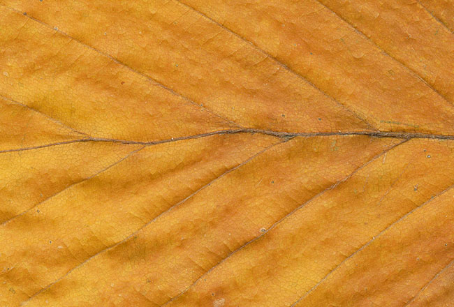 Yellow leaf texture – download