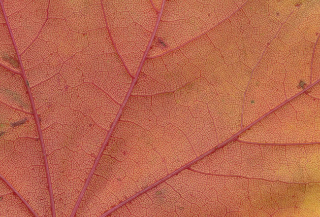 Autumn leaf texture with red color