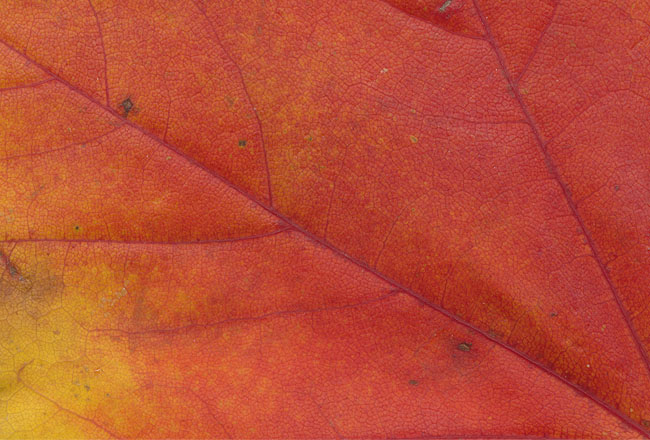 Leaf texture with red and yellow