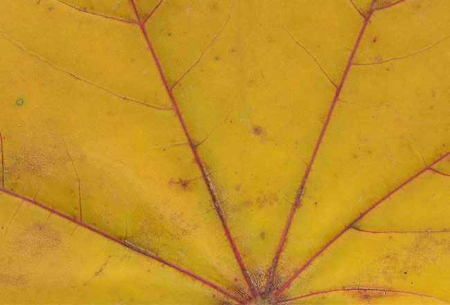 Yellow leaf texture, free download